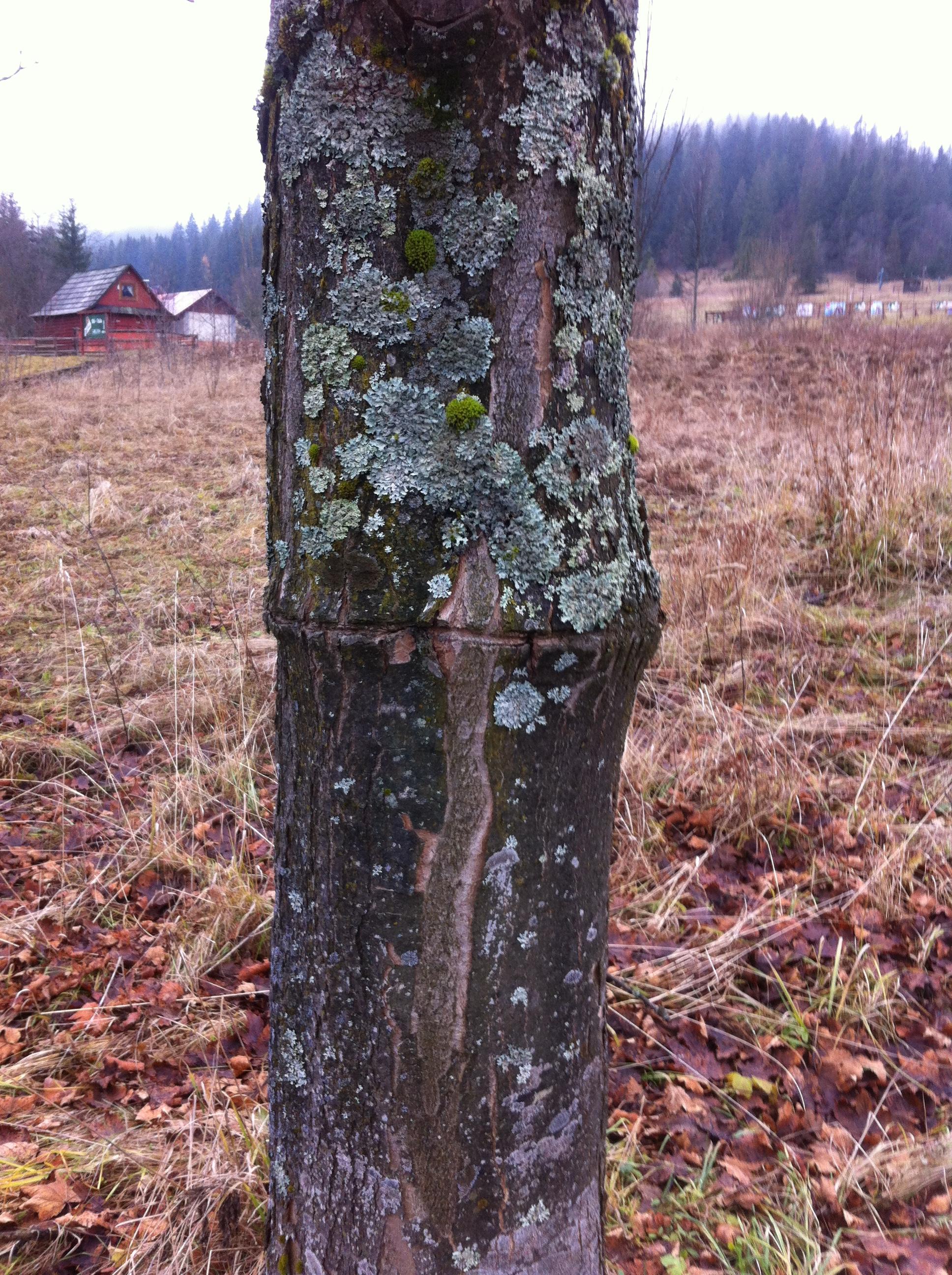 drzewojavorna